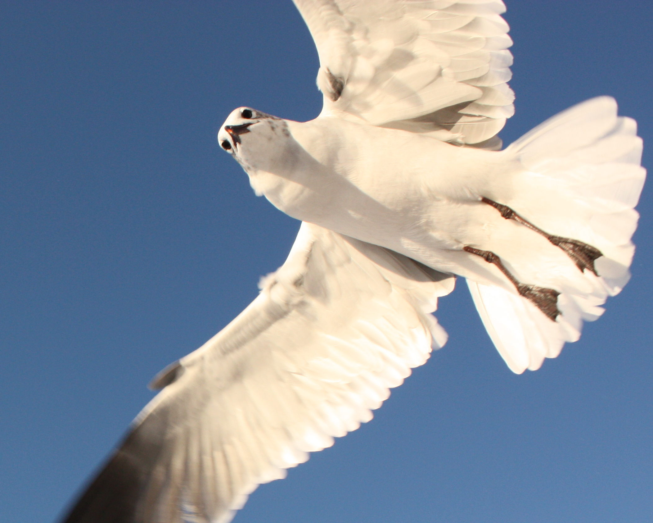 Clearwater Beach Gull Above Me, Spying My Lunch