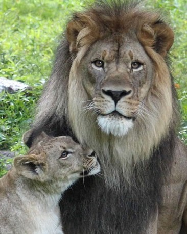 Lion and Cub, The Bronx