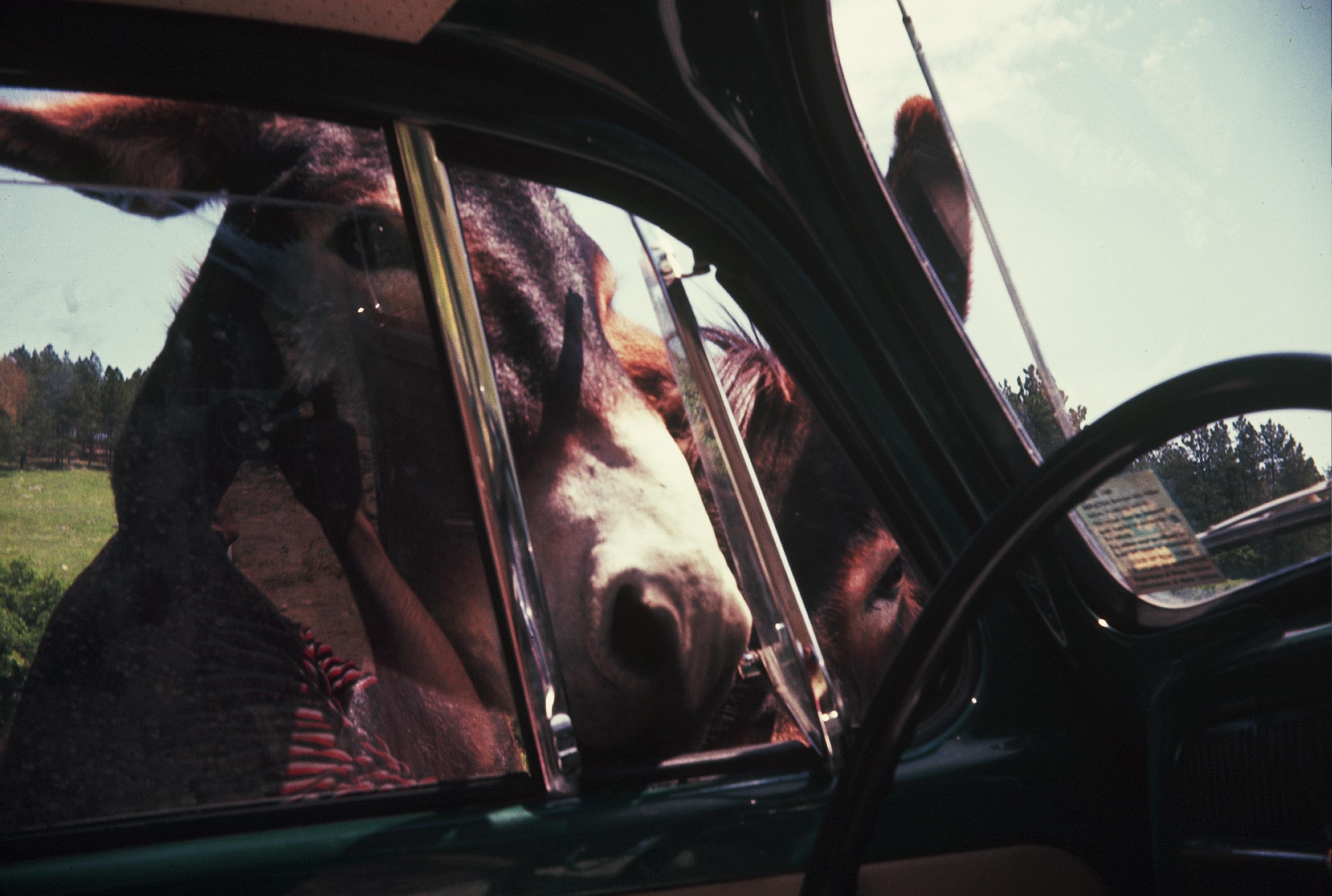 Wild Donkeys, Black Hills